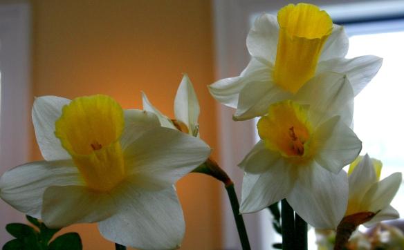 Daffodill10
