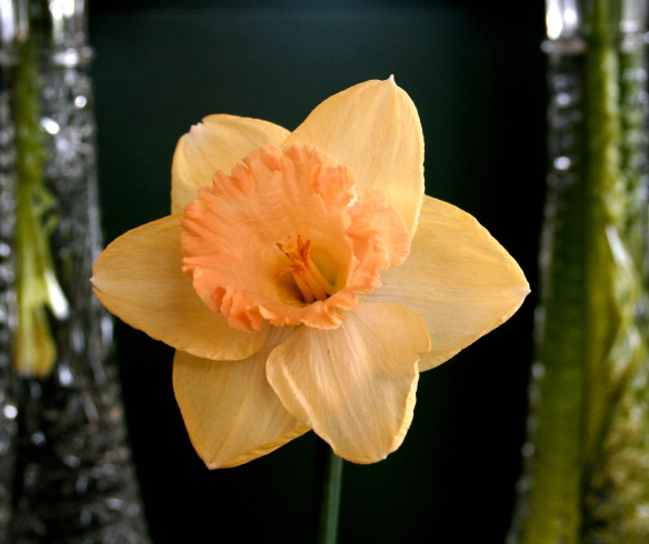 Daffodill2