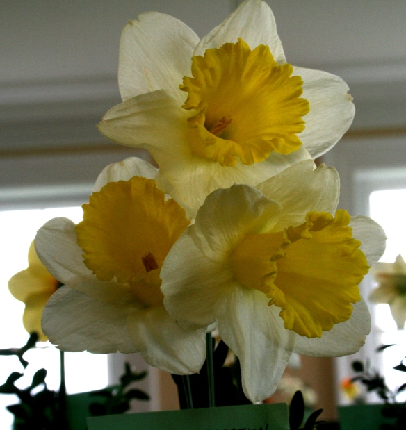 Daffodill3