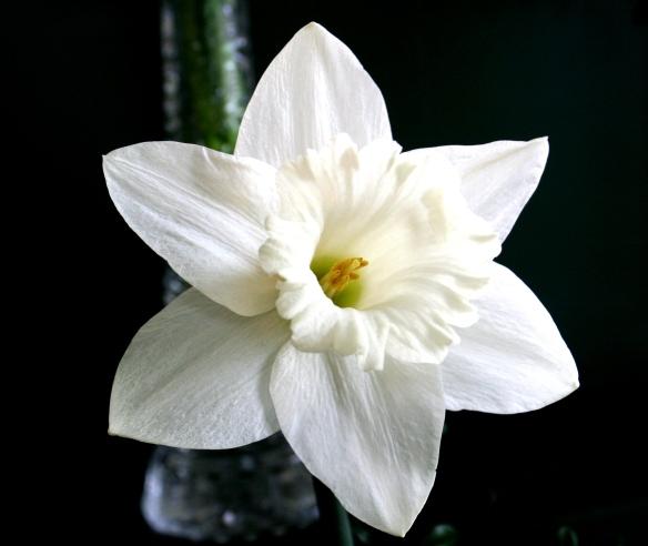 Daffodill4