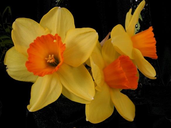 Daffodill6