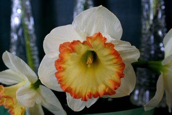 Daffodill7