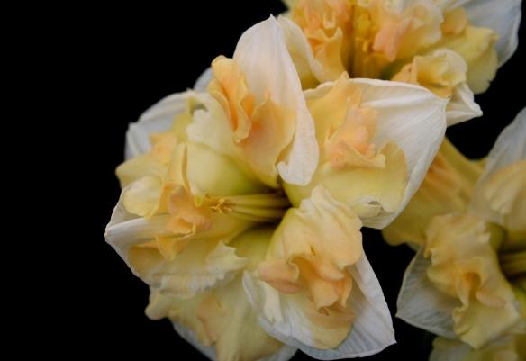 Daffodill8