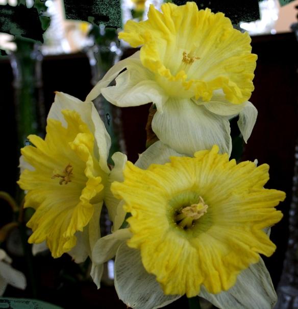 Daffodill9